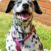 Adopt A Pet :: Patches - Mount Laurel, NJ