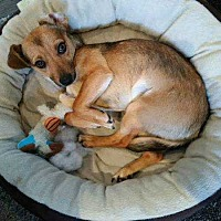 Chihuahua Mix Dog for adoption in Lakewood, California - Sunny