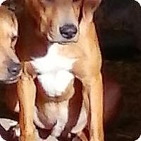 Labrador Retriever Mix Puppy for adoption in Wytheville, Virginia - Dude