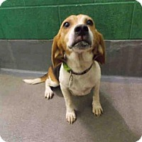 Adopt A Pet :: CANDY - Upper Marlboro, MD