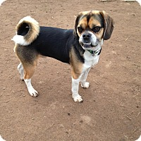 Pug/Beagle Mix Dog for adoption in Cranford, New Jersey - Sligo