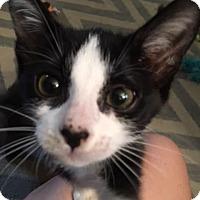 Adopt A Pet :: Dora the Explorer - Chicago, IL