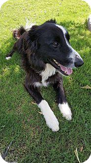 Border Collie Mix Dog for adoption in Higley, Arizona - JACK