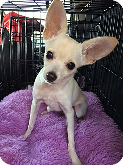 Chihuahua Mix Puppy for adoption in Los Angeles, California - Spike 4 lbs.