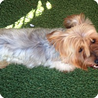 Yorkie, Yorkshire Terrier Mix Dog for adoption in Dallas, Texas - Texas