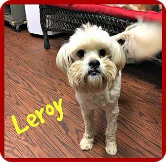 Maltese/Poodle (Miniature) Mix Dog for adoption in Spartanburg, South Carolina - Leroy