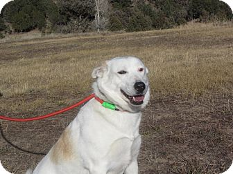 Australian Cattle Dog/Labrador Retriever Mix Dog for adoption in Ridgway, Colorado - Scarlet