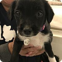 Adopt A Pet :: Lucca - Thousand Oaks, CA