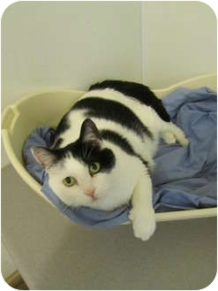 Domestic Shorthair Cat for adoption in Pascoag, Rhode Island - Freddy