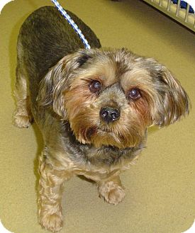 Yorkie, Yorkshire Terrier Dog for adoption in Sierra Vista, Arizona - Bailey