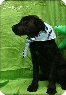 German Wirehaired Pointer/Labrador Retriever Mix Puppy for adoption in Ogden, Utah - Baxter