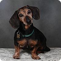 Adopt A Pet :: Gretchen - San Jose, CA
