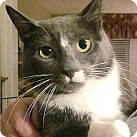 Domestic Shorthair Cat for adoption in Plainville, Massachusetts - Ms M