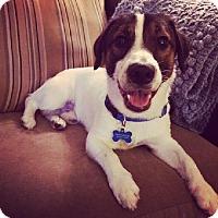 Adopt A Pet :: Roman - Stroudsburg, PA