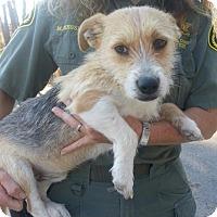 Adopt A Pet :: Oscar Meyer - Brattleboro, VT