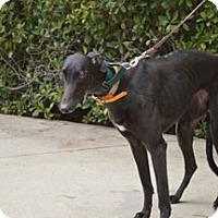 Adopt A Pet :: Onyx - Walnut Creek, CA