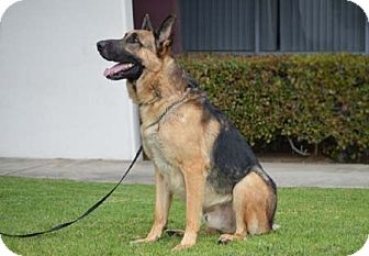 German Shepherd Dog Dog for adoption in Downey, California - Kingston