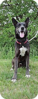 Great Dane/Husky Mix Dog for adoption in Winfield, Pennsylvania - Fletcher