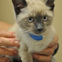 Siamese Kitten for adoption in Pompano Beach, Florida -