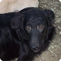 Flat-Coated Retriever Mix Puppy for adoption in Harrisburgh, Pennsylvania - Morris