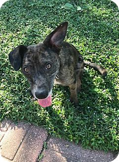 Blue Heeler/Cattle Dog Mix Dog for adoption in Beaumont, Texas - Winston