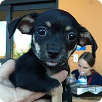 Adopt A Pet :: Alphie (<2 lbs) - Santa Ana, CA