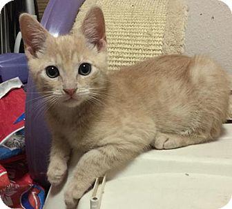 Domestic Shorthair Kitten for adoption in HILLSBORO, Oregon - 'Coriander (Cori)'