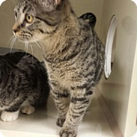 Adopt A Pet :: Cat-Gabby - Denver, CO