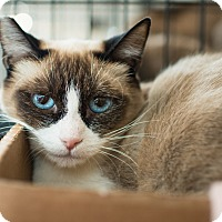 Snowshoe Cat for adoption in Los Angeles, California - Suki