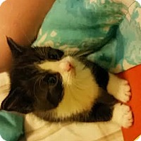Domestic Shorthair Kitten for adoption in Chippewa Falls, Wisconsin - Polie