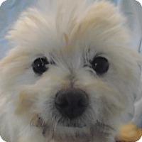 Maltese Dog for adoption in St Louis, Missouri - Maxy