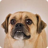 Adopt A Pet :: Boss - Prescott, AZ