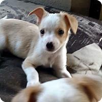 Adopt A Pet :: PeeWee - Yelm, WA