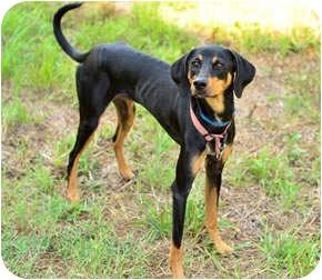 Jazzi | Adopted Dog | Bogart, GA | Doberman Pinscher ...