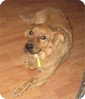 Retriever (Unknown Type)/Shepherd (Unknown Type) Mix Dog for adoption in Golden Valley, Arizona - Rosie
