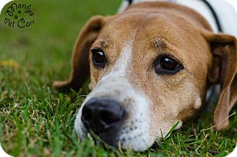 Coonhound Mix Dog for adoption in Howell, Michigan - Jack