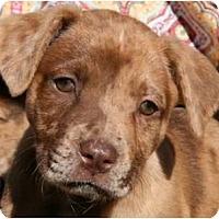 Adopt A Pet :: Padme - Richmond, VA