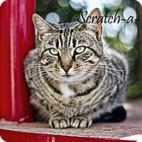 Adopt A Pet :: Scratchabelly - Belle Chasse, LA