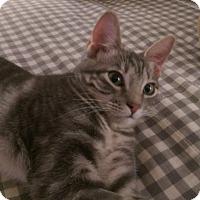 Adopt A Pet :: Cinderella - Loveland, CO