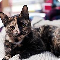 Adopt A Pet :: Warm 'n Fuzzy Nutmeg - Brooklyn, NY