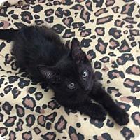 Domestic Shorthair Cat for adoption in Scottsdale, Arizona - Rocky
