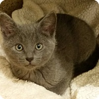 Adopt A Pet :: Kitten Niles - Seal Beach, CA
