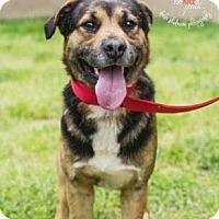 Adopt A Pet :: Kong - Lincolnton, NC