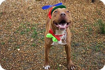 American Pit Bull Terrier Dog for adoption in Columbus, Mississippi - Vinnie