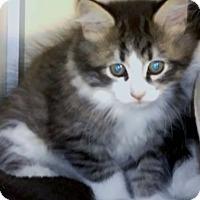 Adopt A Pet :: Bonsai - Franklin, NH