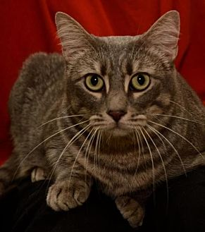 Domestic Shorthair Cat for adoption in Sanford, Florida - Ms Keane  the Mother Cat