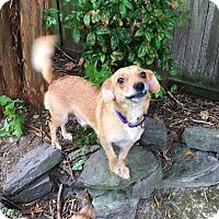 Corgi/Beagle Mix Dog for adoption in Va Beach, Virginia - Maggie