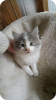 Domestic Shorthair Kitten for adoption in THORNHILL, Ontario - Sanchez