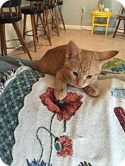 Domestic Shorthair Kitten for adoption in Harrisburg, Pennsylvania - Kaci (baby girl)