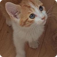 Domestic Shorthair Kitten for adoption in Asheville, North Carolina - Sarina